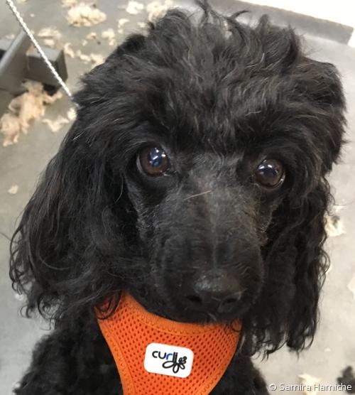 Lili, caniche noir, cherche l'attention du smartphone